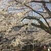 桜開花2018年 地元と千鳥ヶ淵の夜桜