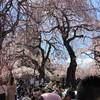 榴ヶ岡公園でお花見してました