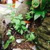 ホーリーバジル観察日記⑧お花が咲きました!