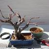 ボケの移植 盆栽