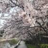 待っててくれた関西の桜