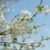 日光だいや川公園でミドリザクラ&シジュウカラを撮りました。
