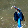水しぶきを上げ魚を見事に捕らえて飛び上がる新春のカワセミ