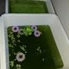 グリーンウォーターがメダカの稚魚や針子の成長促進に役立つ理由