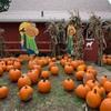 秋のイベント パンプキンパッチ