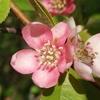 花梨の花 2017 4月