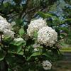 昭和記念公園のチューリップと里桜