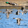 神乃池の上を飛ぶオナガガモたち