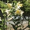 百合の花見