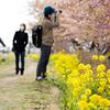 河川敷に川津桜と菜の花、茅ヶ崎市・小出川桜まつりを撮影してきた