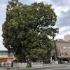 広島市市街地にあります新庄の宮神社の「夫婦楠」です。
