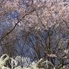 新元号と桜、咲いています