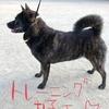 甲斐犬サンのショーマナー入れ始まるの巻〜...((φ(。・c_,・。)φ))...フムフム