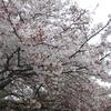 走れずとも雨が降ろうとも桜を見に