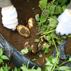 治助フェス(奥多摩海沢滝めぐりサイクリング&治助芋収穫)に参加しました