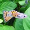 熱帯魚 観賞魚 国産グッピー レッドグラス グッピー 5Pr 【国産・グッピー】