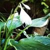 ギボウシに白い花が咲きました。