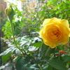 今月もきちんと咲いて来ました「ポラリス・アルファ」