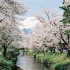 新名庄川の桜とやっと撮り終えたフィルム(KODAK PORTRA 160)