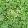 6月20日家の家庭菜園 「作戦名カラス撃退大作戦」「梅雨入りまだですか?」