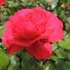 バラの家さんのメルマガを読んでいたらレッドレオナルドダヴィンチ!バーガンディアイスバーグが750円!!びっくりポンで即座に購入\(^O^)/