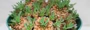 ユーフォルビアの雌花と雄花を見比べる!