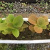 #3 種から育てたキウイフルーツ 葉が次々と