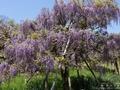 横須賀の「しょうぶ園」では藤の花が綺麗です☆5月6日迄「ふじまつり」開催中