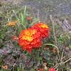 ランタナ:花言葉(厳格・合意・協力・確かな計画)奄美で咲いてた花を調べてみました。