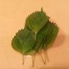 子供も食べれる【大葉の大量消費】大葉・梅・昆布の混ぜご飯