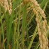 ひとつ目の不耕起田んぼで最後の様子です。来週は稲刈り!(田植え後16週目、出穂6週目)
