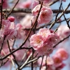 京王百草園の梅まつりに行ってきました
