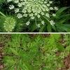 ニンジン4 ニンジンの花を見ることはあまりありませんが,セリ科独特の美しい花です. セリ科で毒を持つ植物としてはドクゼリが有名ですが,外来種ドクニンジンにも強い毒が.ソクラテスが最期を遂げた毒物! / セリ科の植物とその花たち.