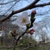ベルチャンの介護60 『2021年 桜 勝手に開花宣言❗~あつぎつつじの丘公園~』