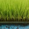 3週間経過した苗の様子です。来週、田植えです!