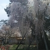 青森県弘前公園「さくらまつり」に行ってきた!!