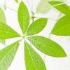 癒しの観葉植物 パキラのすすめ