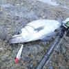 エクスセンスインフィニティ / ビームスローワー&カルカッタコンクエストDCでシーバスフィッシング。86ロッドは海釣りで使いやすいかもしれない。