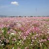 【写真加工】枯れた向日葵を咲かす!(季節の後戻り?)