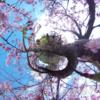 初島の春 桜 をTHETAで撮影! #360pic