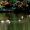 坂田が池のマガモ