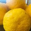 冬の味覚 柚子🍊をもらったよ