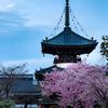 京都・嵯峨野 - 嵯峨釈迦堂の河津桜