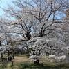 多摩川桜百景 -33. 大木島自然公園-