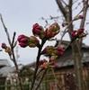 我が家の陽光桜は