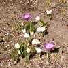 帯広は桜開花まであと4週間。