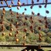 干し柿をつくる
