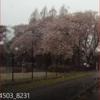 令和になる前満開の桜に雪が降ったんだ。
