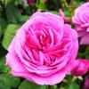 リージェンツ・パークのクィーン・メアリーズ・ローズ・ガーデンのカフェで薔薇をみながら紅茶(イギリスのロンドン)