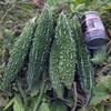 沖縄ゴーヤの最終収穫